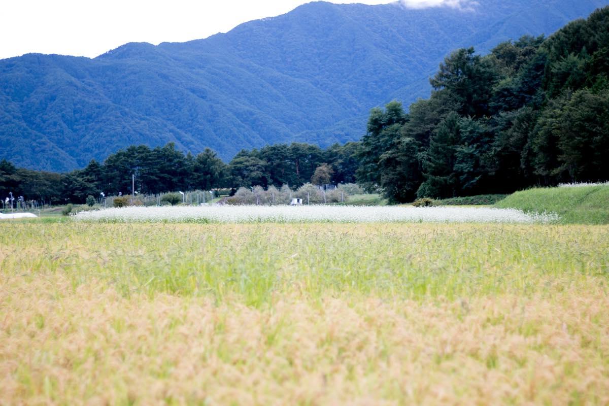 取材時、伊那のそば畑がとてもきれいでした。