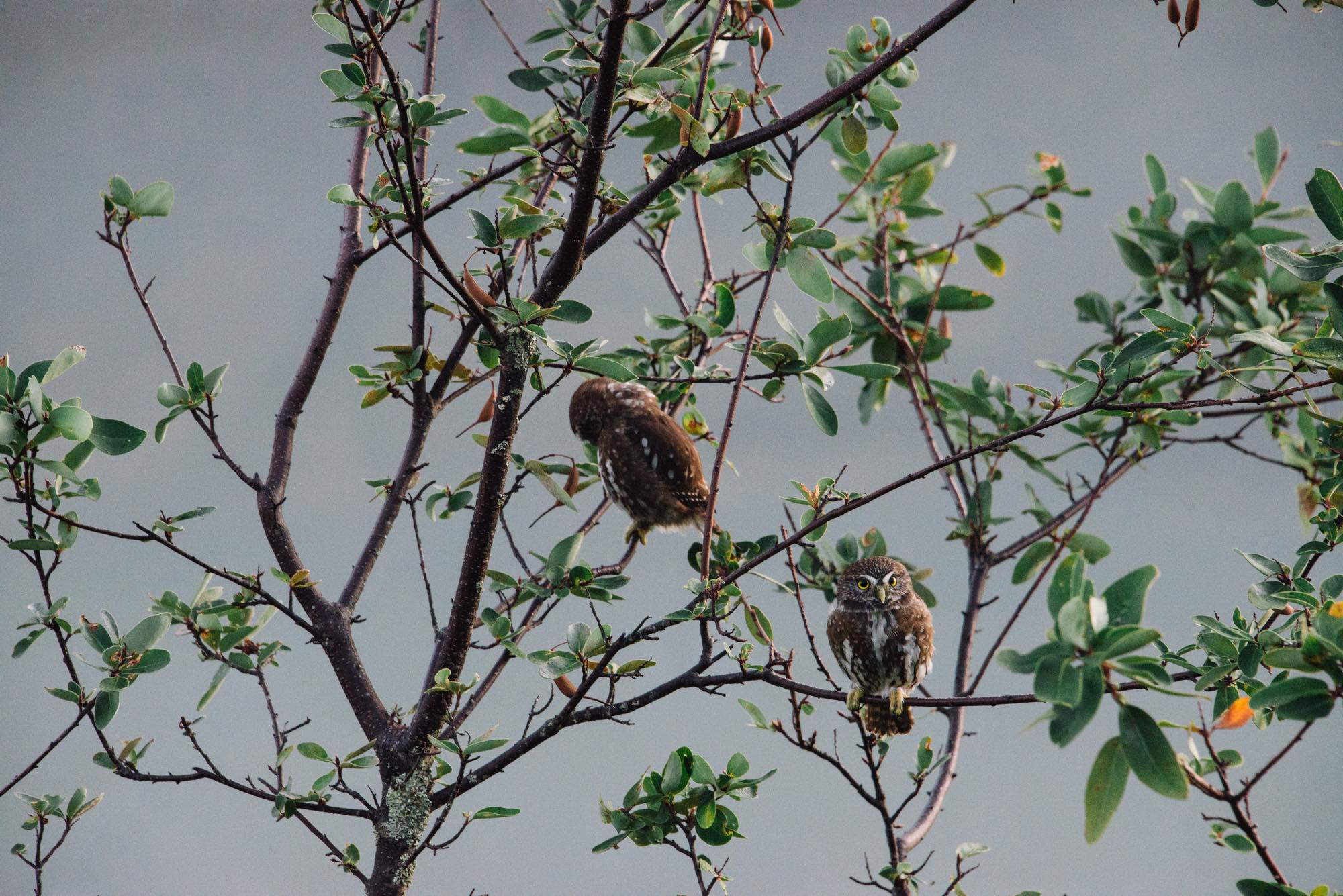 幸運にも、パタゴニア地方に生息するフクロウに出会いました。世界最小らしく、手のひらサイズで本当にかわいい。