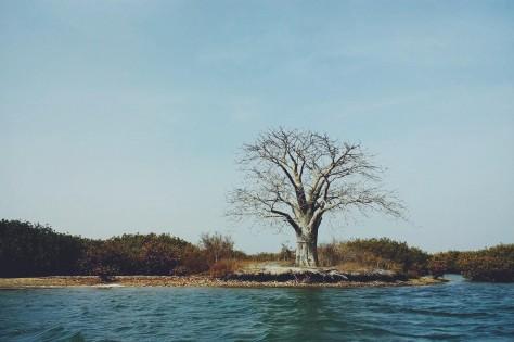 大きなバオバブの木